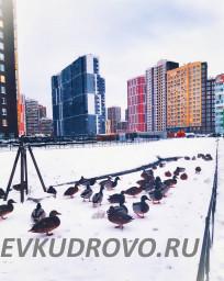 банда уток в Кудрово