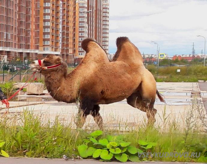 Верблюды завоёвывают Кудрово