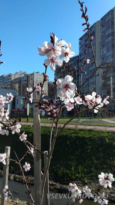 Цветущая сакура в Кудрово