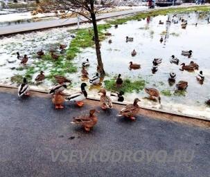 парк Оккервиль утки