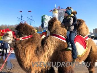 Верблюд в Кудрово